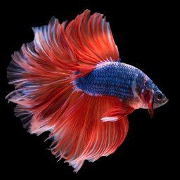 Tips Bisnis Ikan Hias