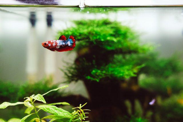 Bisnis Budidaya Ikan Cupang