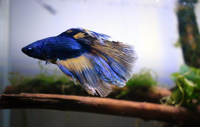 Prospek Bisnis Ikan Cupang