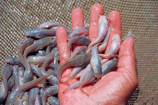 Bisnis ternak ikan lele